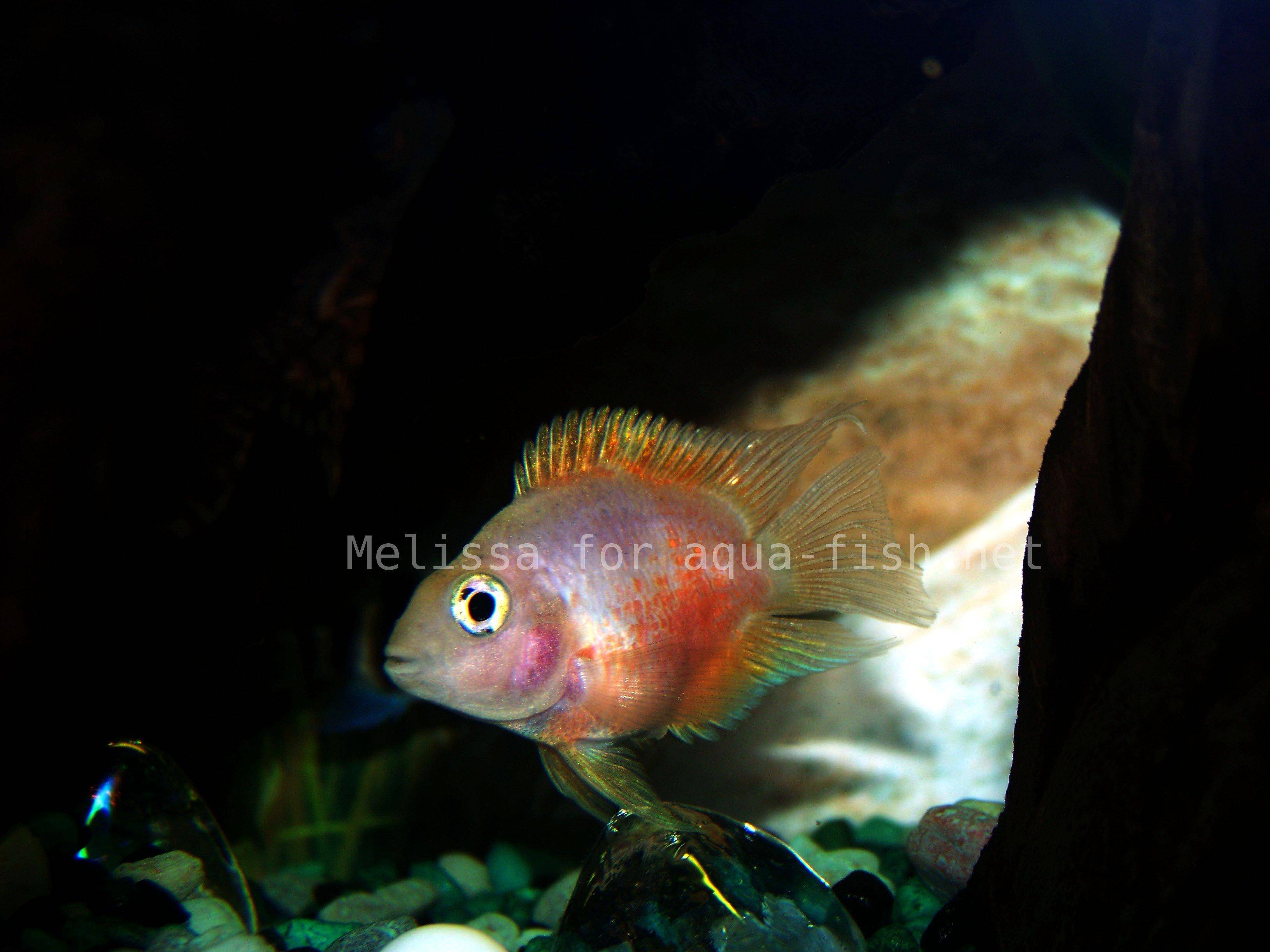 The Parrot Cichlid - Caring for, varieties and forums