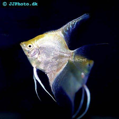 how to breed freshwater angelfish I've searched the internet now for 2 weeks trying to find what constitutes breeding size in angelfish & found the answer of 8 - 12 months but not.