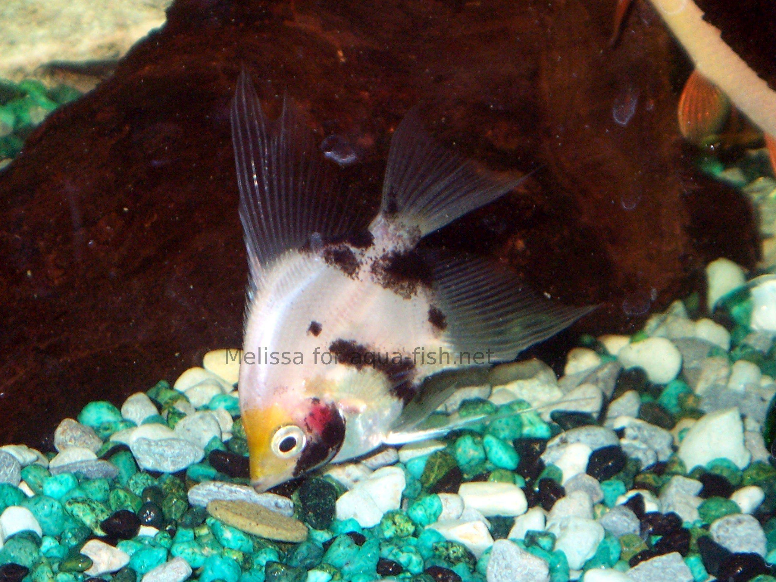 Freshwater angelfish tank