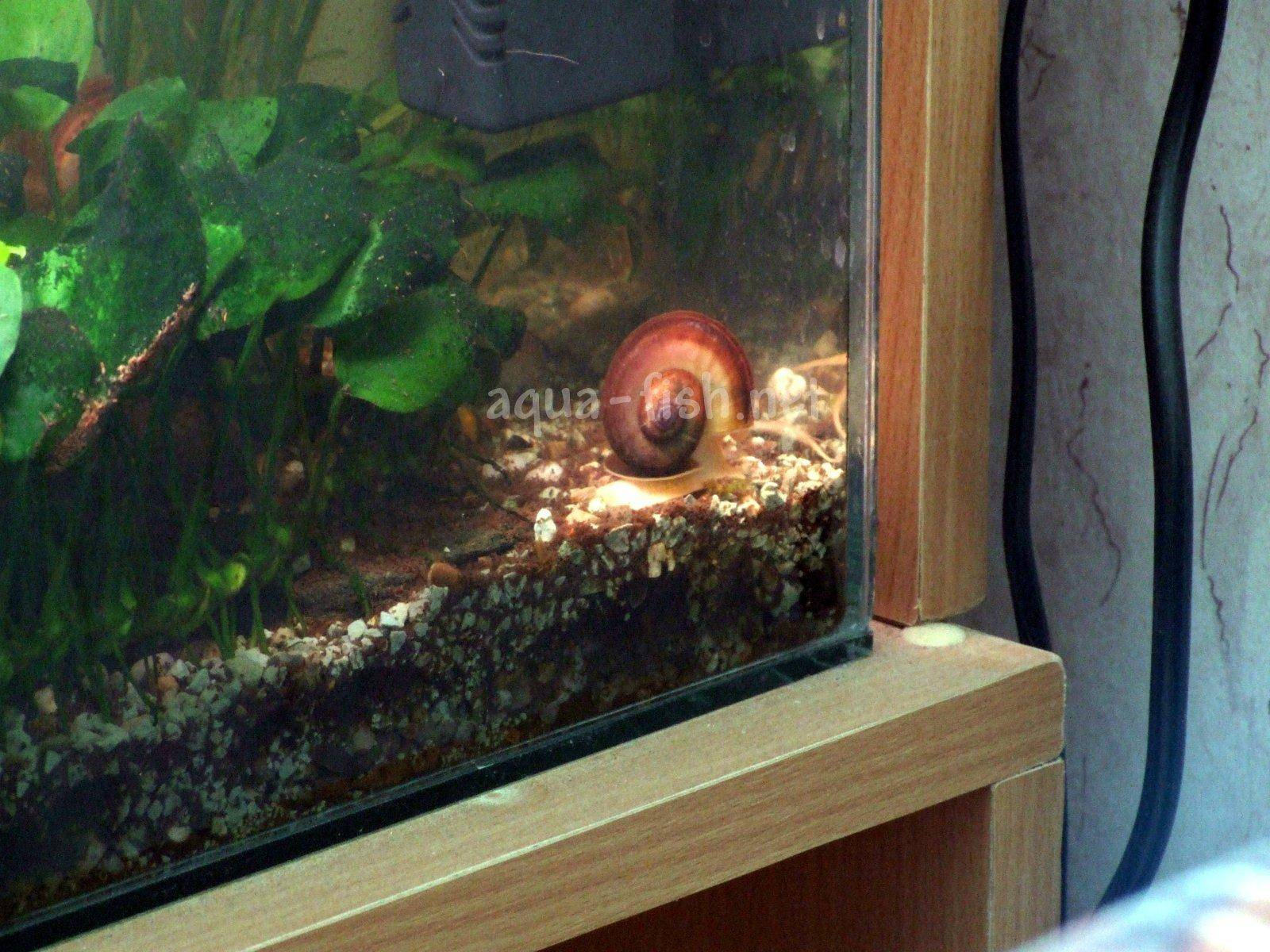 Types of aquarium snails with answers and forum for Fish tank snails