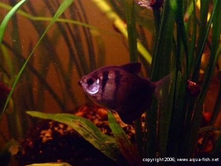 The Black Skirt Tetra; img. 10