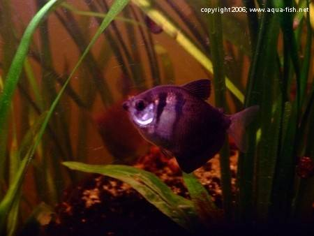 The Black Skirt Tetra; img. 5