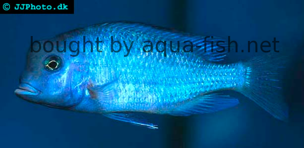 Blue Dolphin Cichlid image 1
