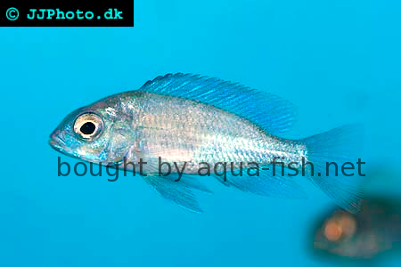 Blue Dolphin Cichlid image 2