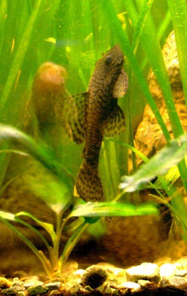 Bristlenose catfish, photo 10