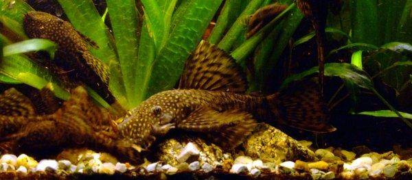 Bristlenose catfish, photo 11