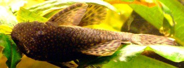 Bristlenose catfish, photo 3