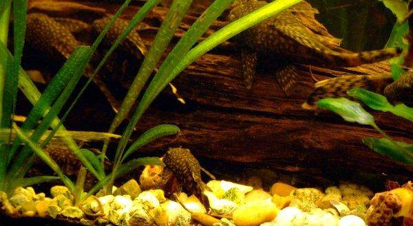 Bristlenose catfish, photo 4