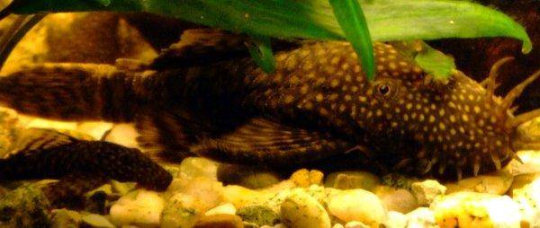 Bristlenose catfish, photo 5