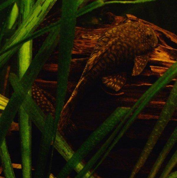 Bristlenose catfish, photo 6