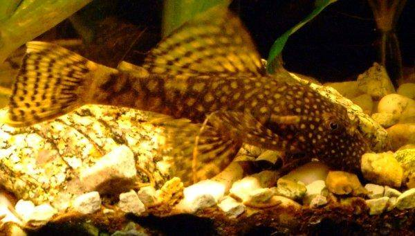 Bristlenose catfish, photo 7