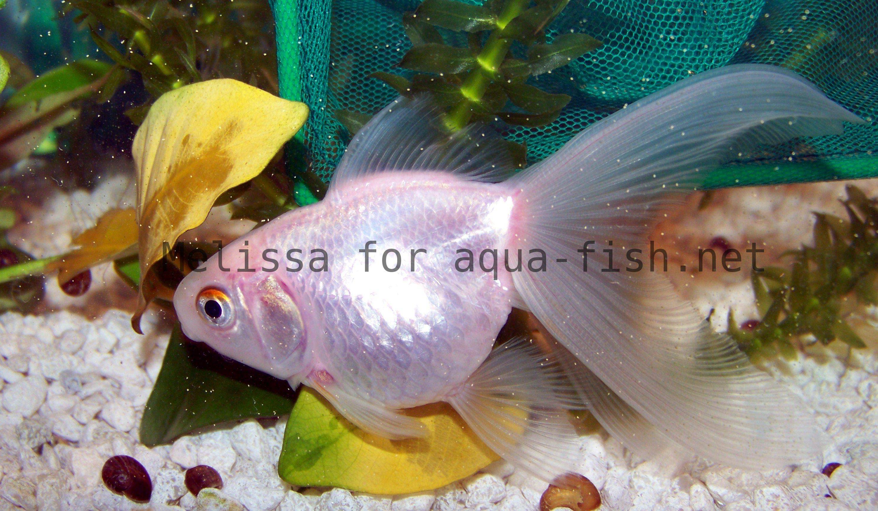 How to keep goldfish and keep water quality high for Can tropical fish live with goldfish