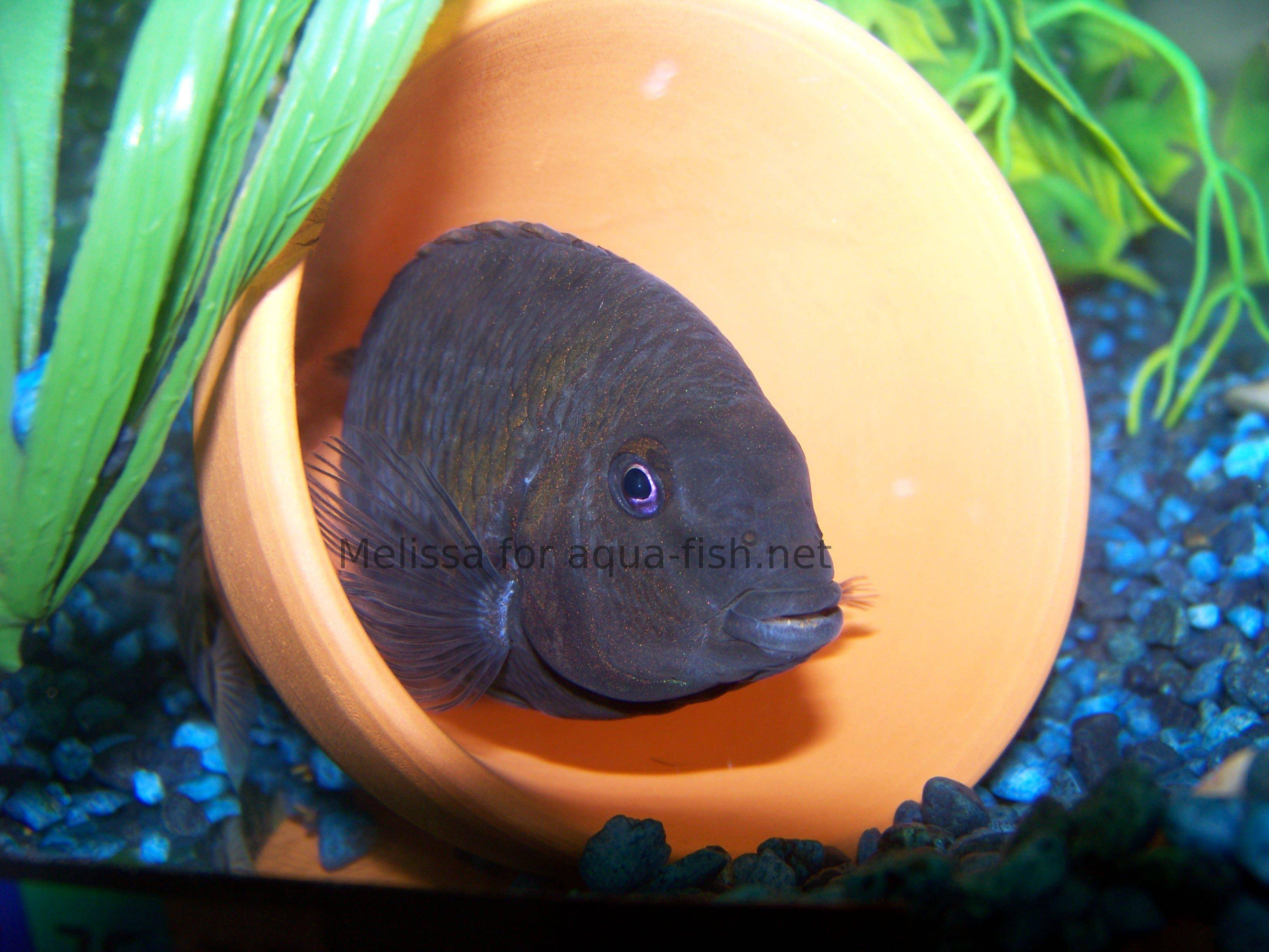 How to care for convict cichlids with pictures and forum for Fish breeding net