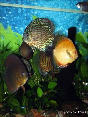 Discus Fish img 5