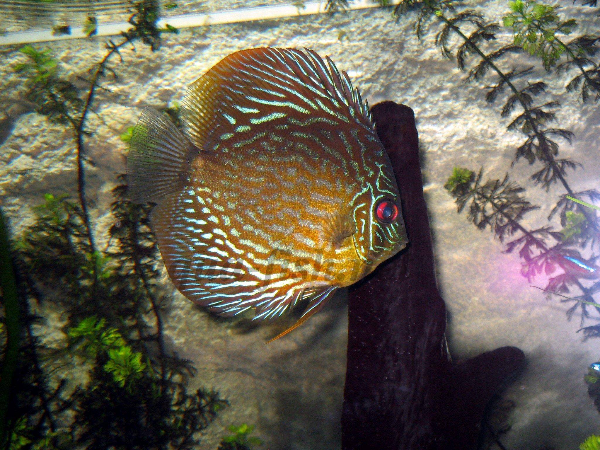Advice on raising and breeding discus fish with forums for Best place to buy discus fish