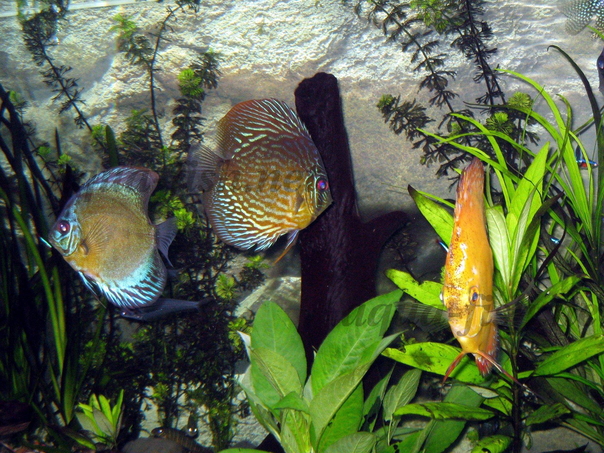 How to raise wild discus in fish tanks for Fish s wild