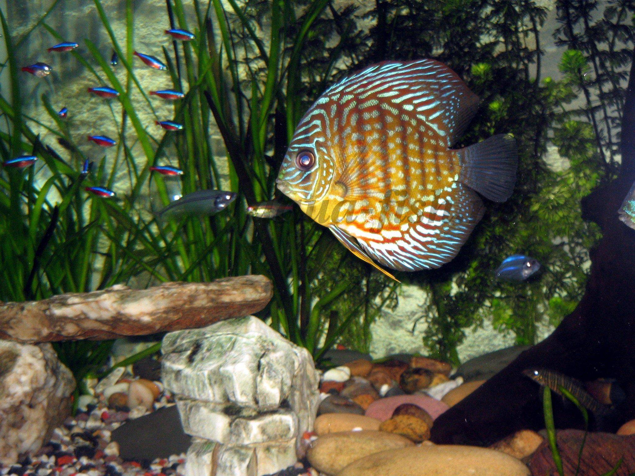 How to raise wild discus in fish tanks for How to raise ph in fish tank