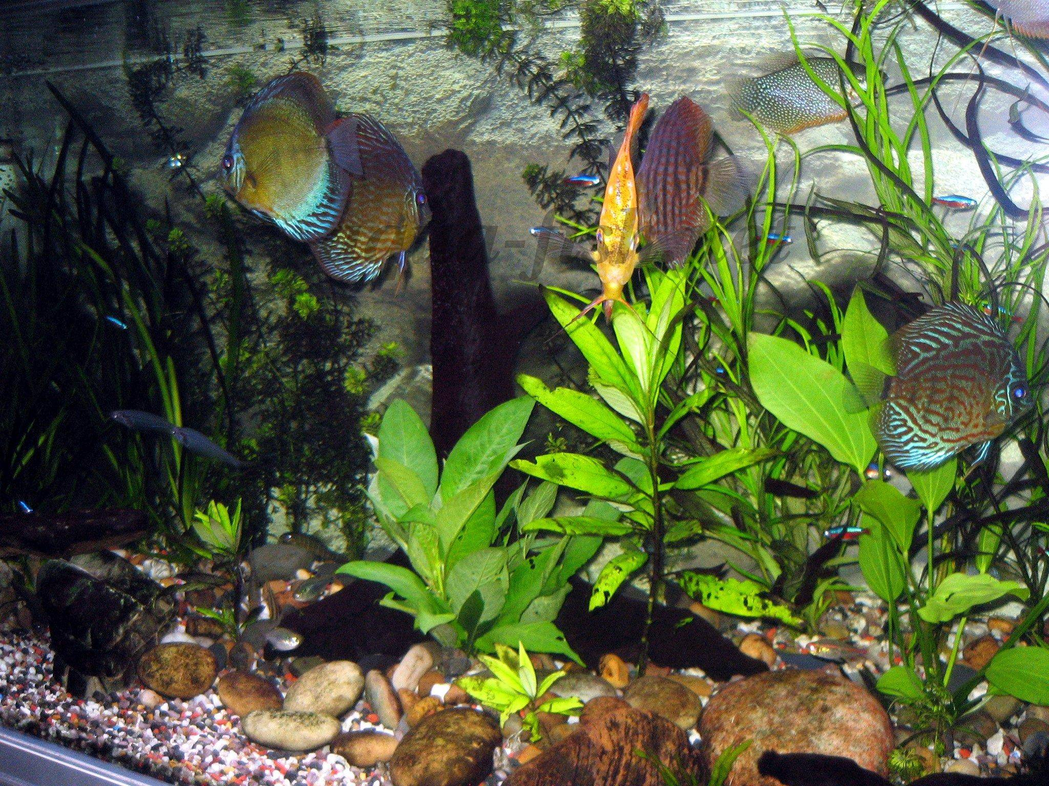 How to raise wild Discus in fish tanks