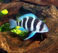 Frontosa cichlid, picture 1