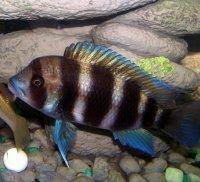 Frontosa cichlid, picture 2