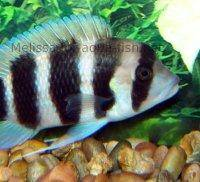 Frontosa cichlid, picture 3