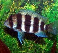 Frontosa cichlid, picture 4
