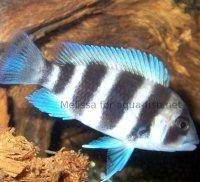 Frontosa cichlid, picture 5