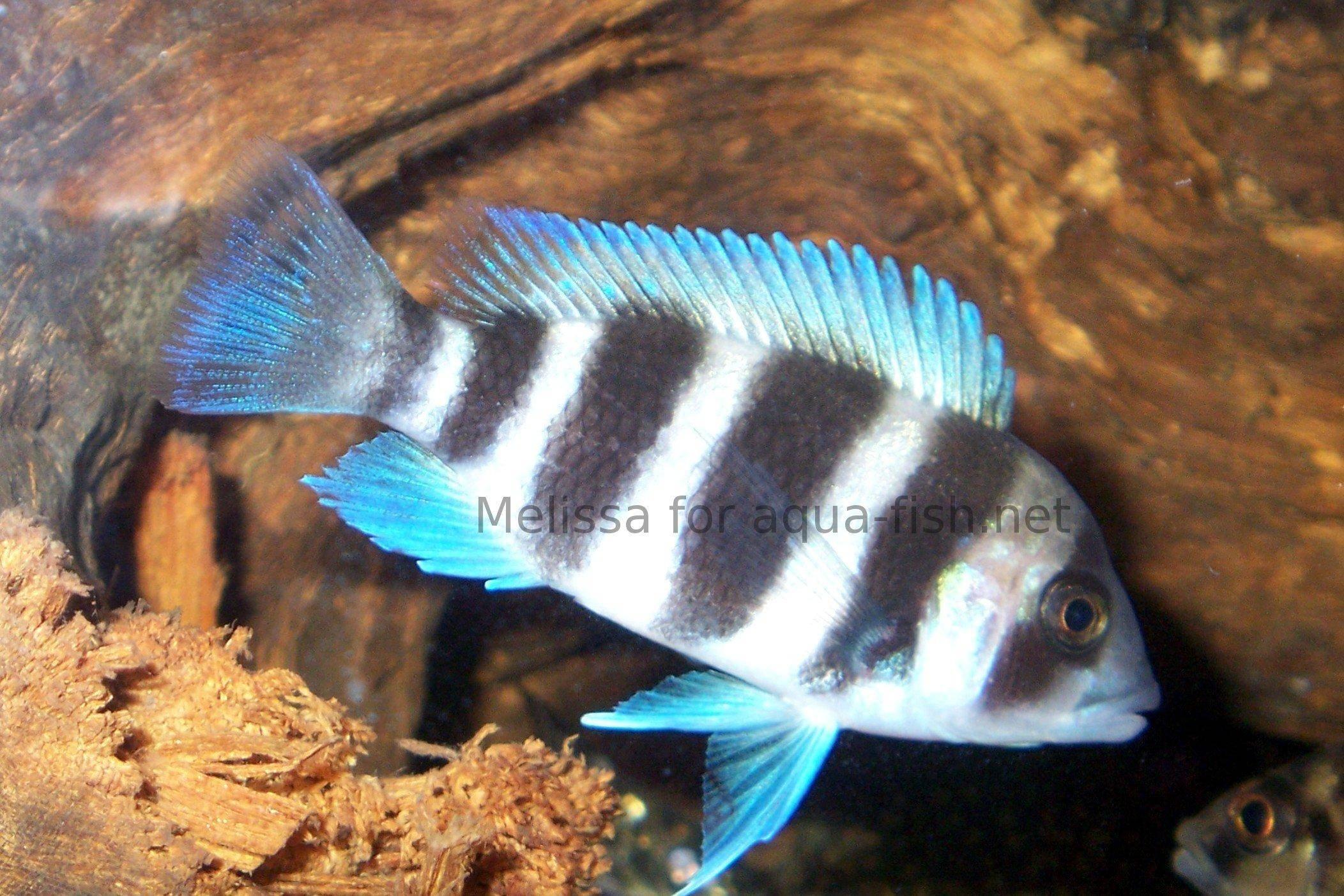 Frontosa Cichlid - Aquarium care, diet, sexing, breeding & more