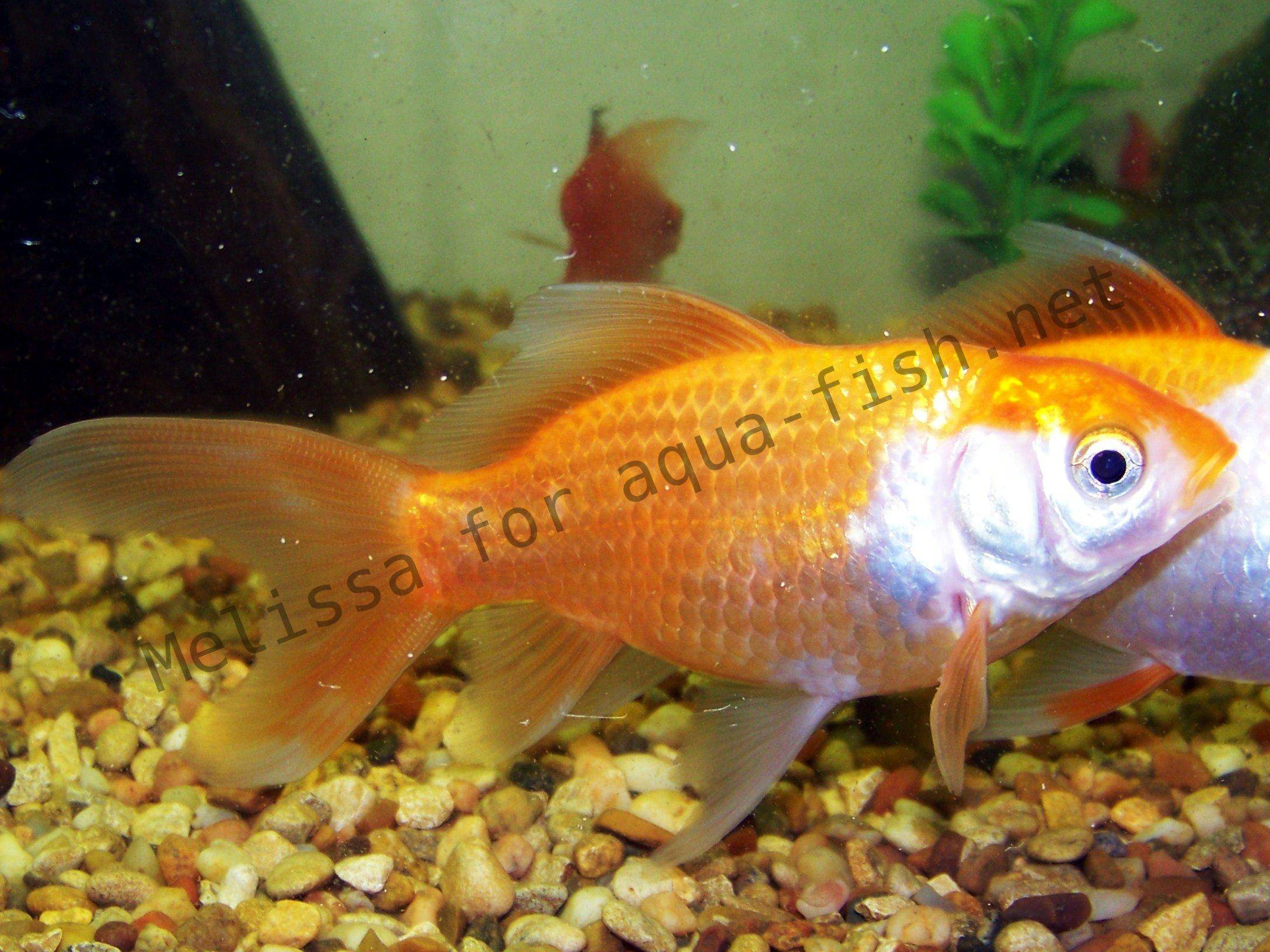 P18386 Shark Tale Character P as well Josh Hutcherson furthermore Aquarium Fish Ich Tropical Fish Diseases Identification And Cures Aquarium Fish additionally Profile Jewelcichlid likewise Just An Inspiring Quote On Life. on oscar fish profile