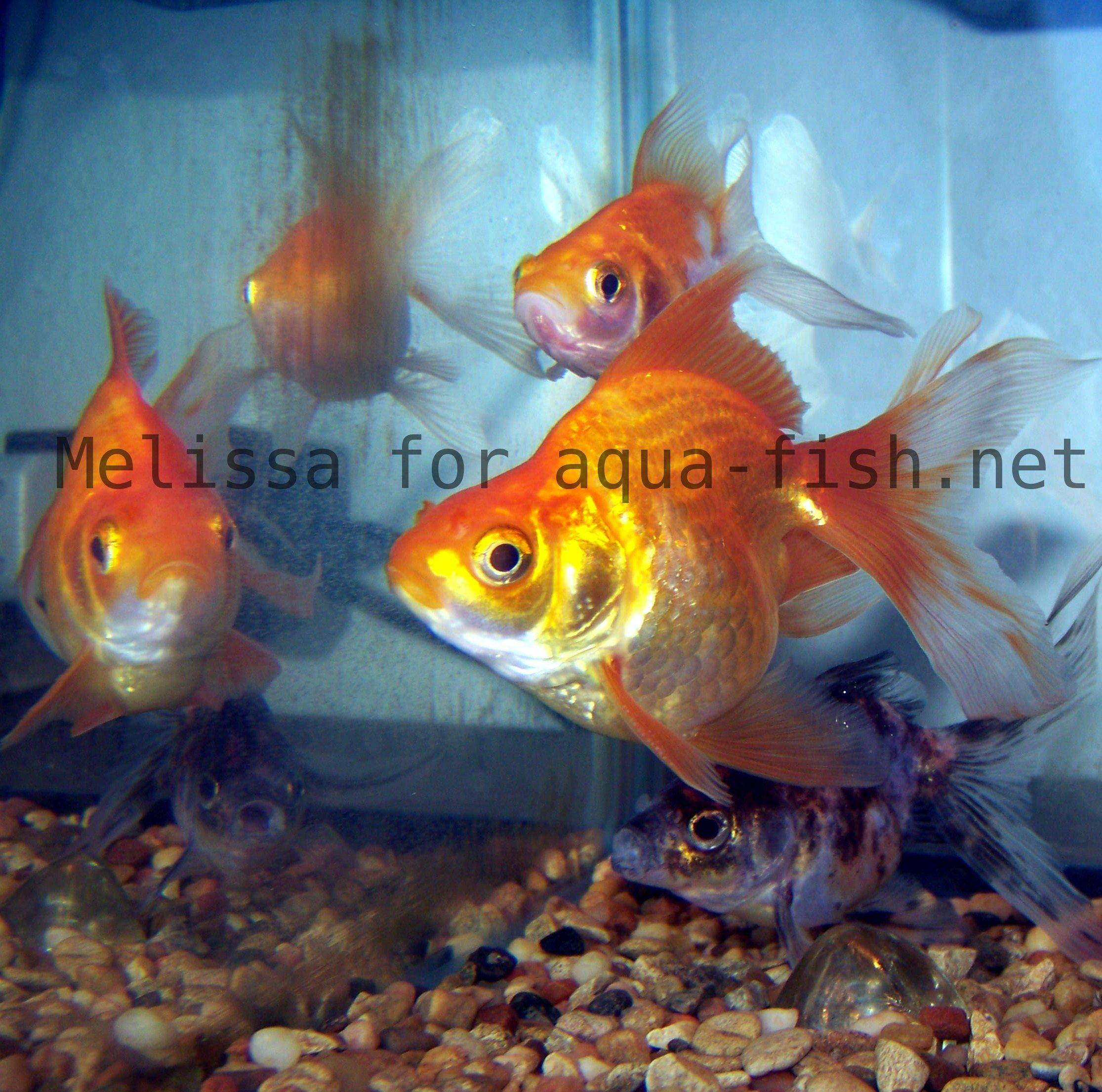 How to keep goldfish and keep water quality high for Fish tank for goldfish