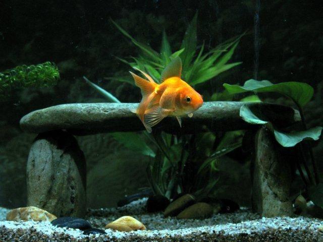 goldfish care forum