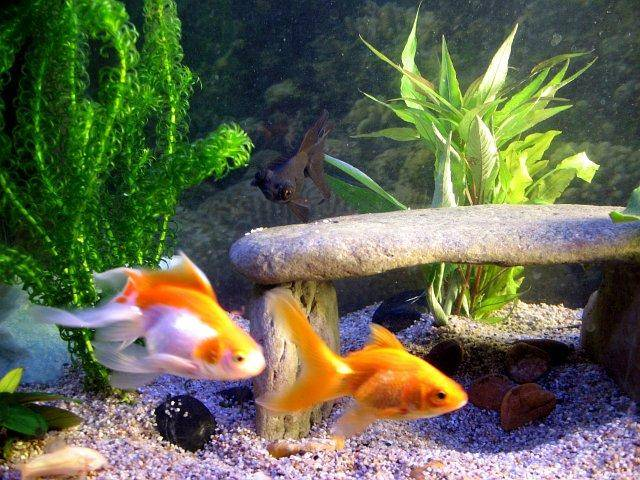A page and forum about caring for goldfish in aquariums for Varieties of fish in the ponds