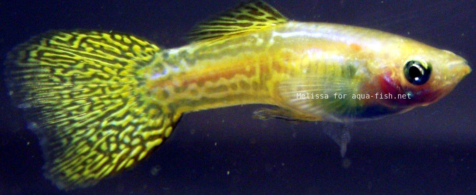 A guide on caring for guppies with focus on shapes and for Guppy fish care