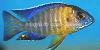 Grant's Peacock Cichlid