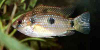 Jewel cichlid, resized image