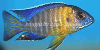 Grants peacock cichlid, resized image