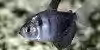 Resized image of Black skirt tetra, 3