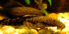 Bristlenose catfish, resized image 1