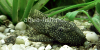 Bristlenose catfish, resized image 4