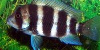 Resized image of Frontosa cichlid, 4