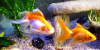 Resized image of Goldfish, 1