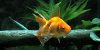 Resized image of Goldfish, 2