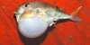 Green Rough-Backed Puffer