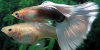 Resized image of Guppy, 1
