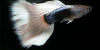 Resized image of Guppy, 2
