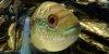 Resized small picture of Jack dempsey cichlid, 1
