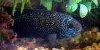 Resized small picture of Jack dempsey cichlid, 2
