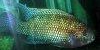 Resized small picture of Jack dempsey cichlid, 4