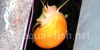 Mystery snail, picture 1