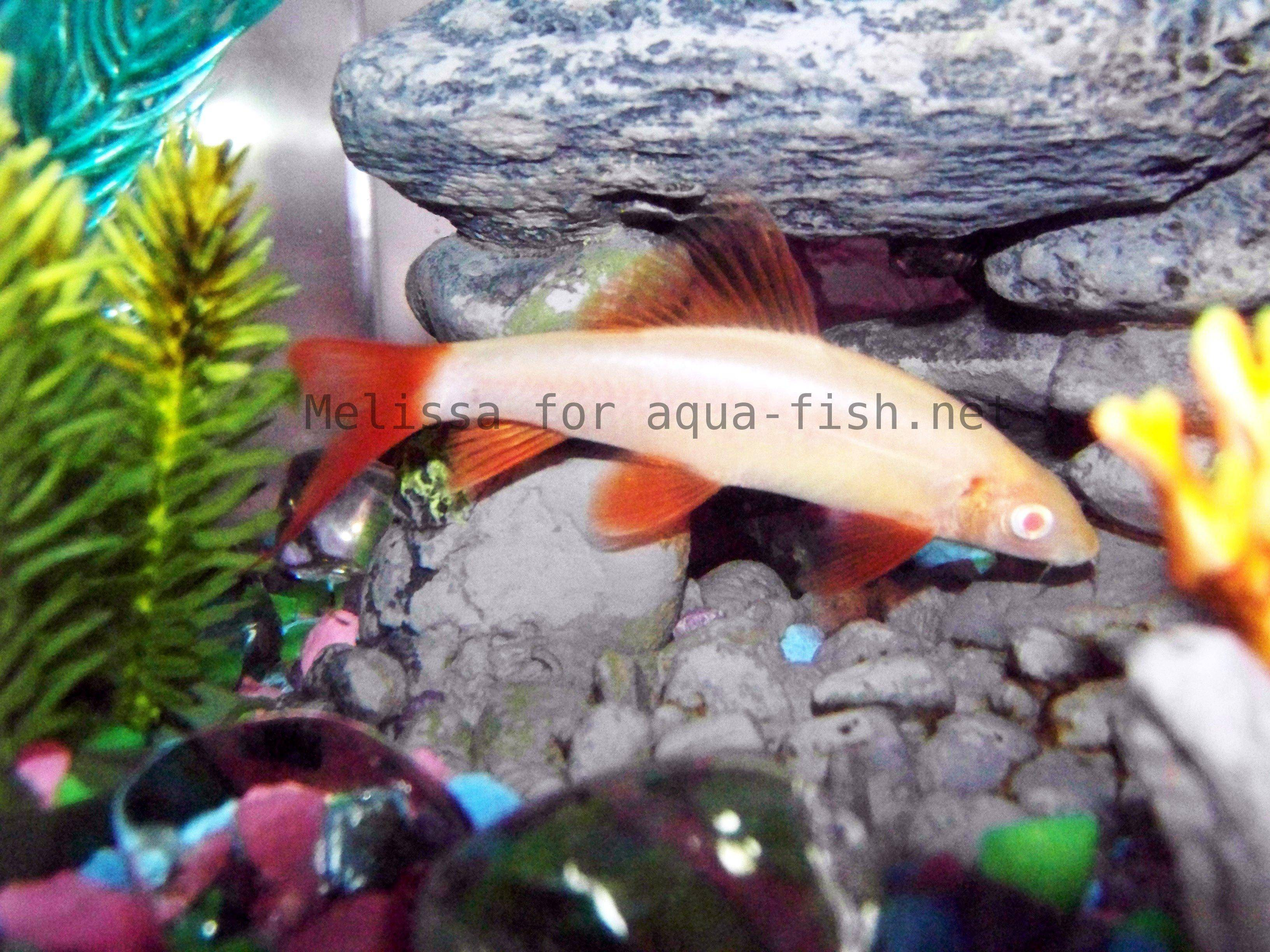 Red tail shark info please tropical fish forums for Rainbow shark fish